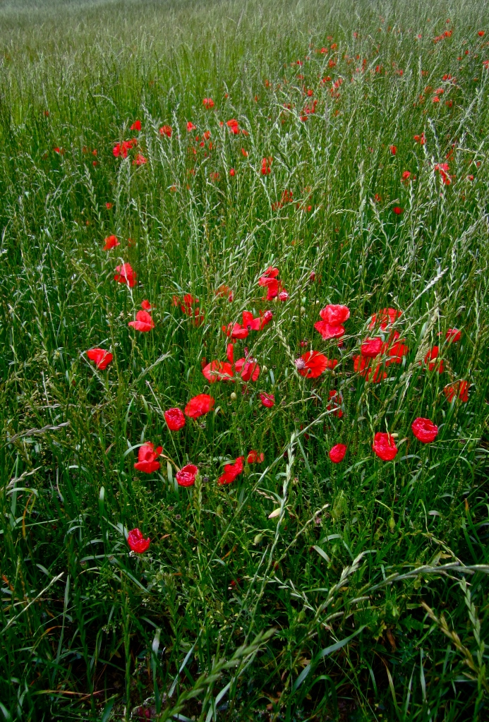 poppy path near wendover