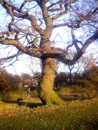 oak dancer