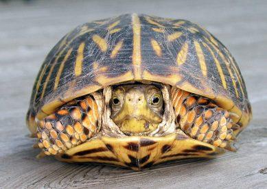 Box-Turtle_92808_Tara-1024x728