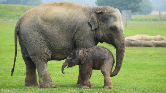 elephant mum